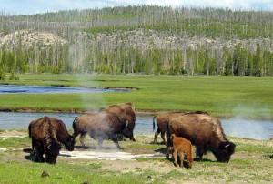 stati uniti Bison_near_a_hot_spring_in_Yellowstone